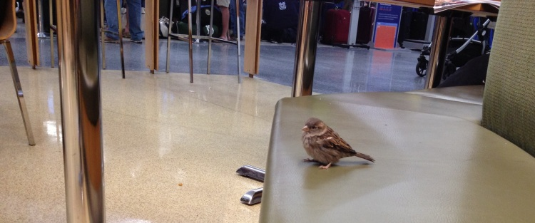 Sparrow in the airport